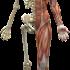 Co łaczy stawy skroniowo-żuchwowe z mięśniami dna miednicy?
